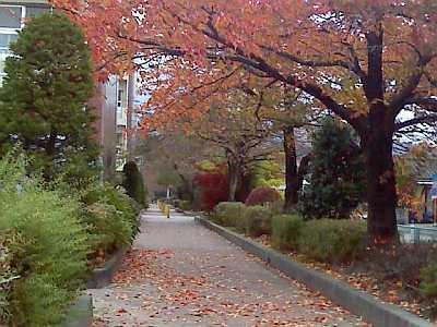 桜の葉の紅葉