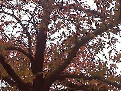 桜の葉越しに、秋の空