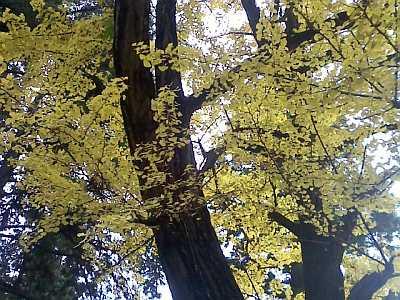 白山神社の大銀杏