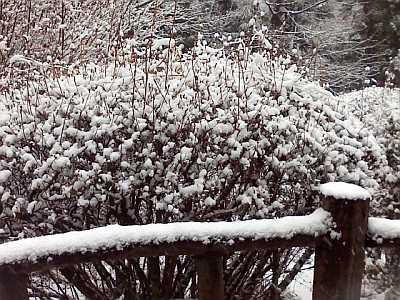 山躑躅(やまつつじ)にも雪・・・