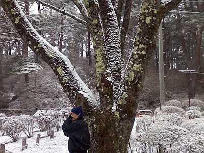 桜の幹にも雪。