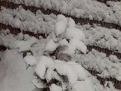 椿の葉にも雪が・・・