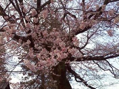 飯田市美術館の桜