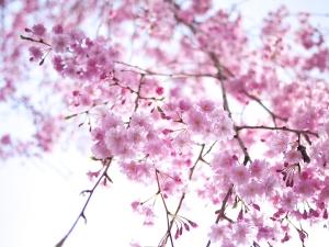 国立の枝垂れ桜