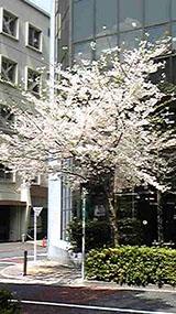 今年はお花見に行けず…でも毎日この桜は見てました