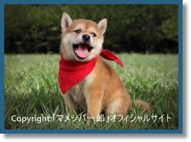 「マメシバ一郎 フーテンの芝二郎」の写真