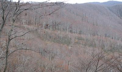 231103鍋倉山のブナ林