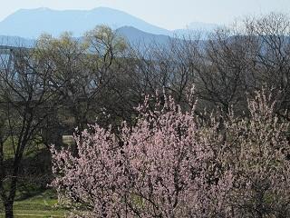 250413千曲川の桜