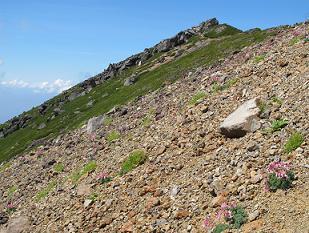 250811飛騨頂上のコマクサ