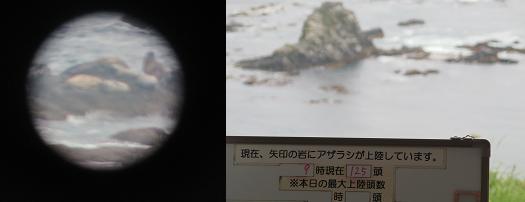 20150806ゴマフアザラシ