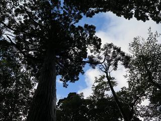 20150920秋田杉を見上げる