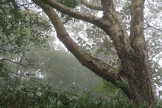 20151002小野岳ダケカンバ