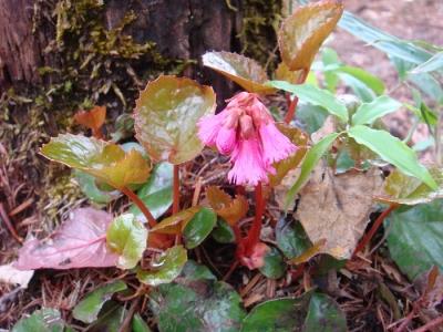 咲き初めのイワカガミ