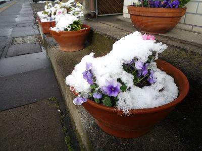 まめの木のお花達も雪化粧