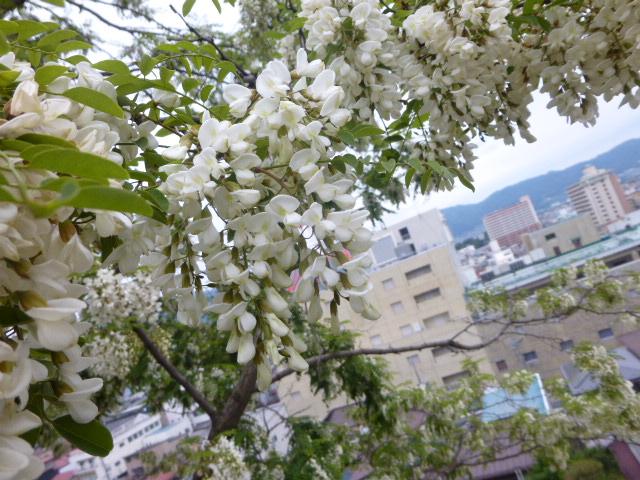 ニセアカシア花