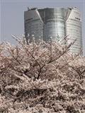 ヒルズと桜