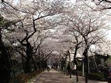 桜2005