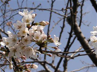 2006桜1