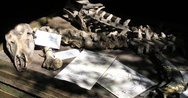 ズータイガー骨