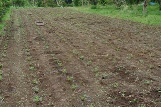 ピーナッツ畑