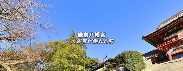 鎌倉八幡宮 大銀杏