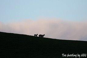 丘の上に羊の親子