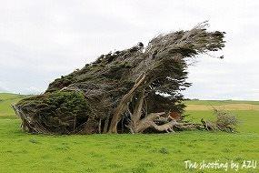 風除けの樹が傾き家を覆ってます
