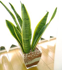 観葉植物 サンセベリア