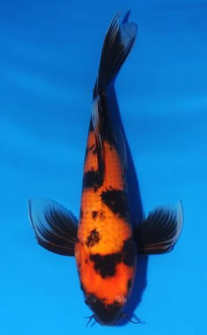 ハワイ 鯉