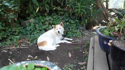 921 shundori 犬