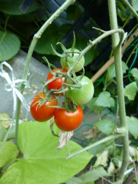 トマト2013_25
