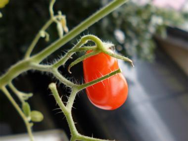 トマト2013_30