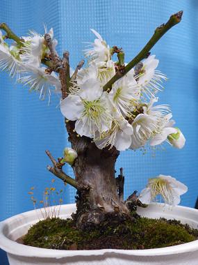 盆栽2015_01