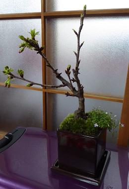 盆栽2015_05