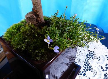 盆栽2015_07