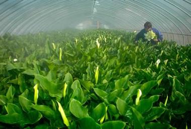 第6回フォトコンテスト200803京都新聞社賞「湯霧の中の収穫(カラーの収穫)」三浦征志浪さん