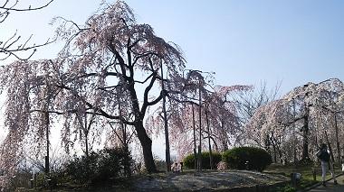 宇治市植物公園の枝垂れ桜