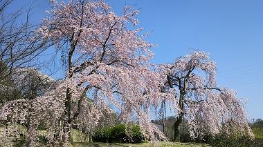 治市植物公園の枝垂れ桜