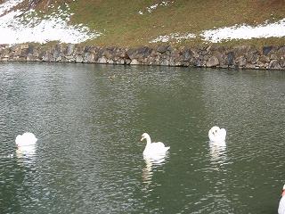 内堀の白鳥