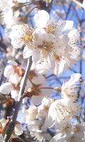 2008年の桜(さくらんぼの)1