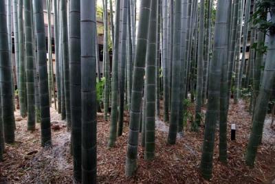 中庭のすごい竹林