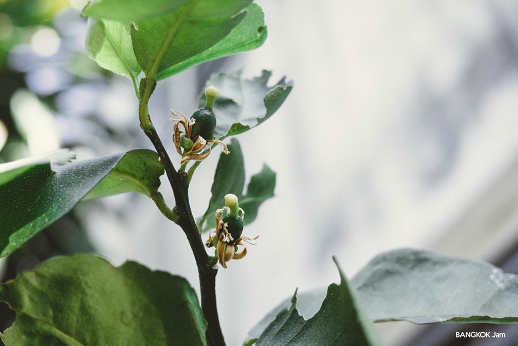 レモンの木 つぼみ 蕾 バンコク