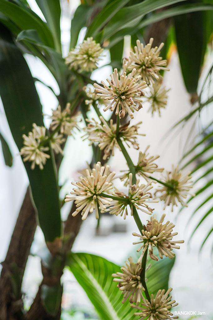 幸福の木 花 ต้นวาสนา ออกดอก bangkok バンコク