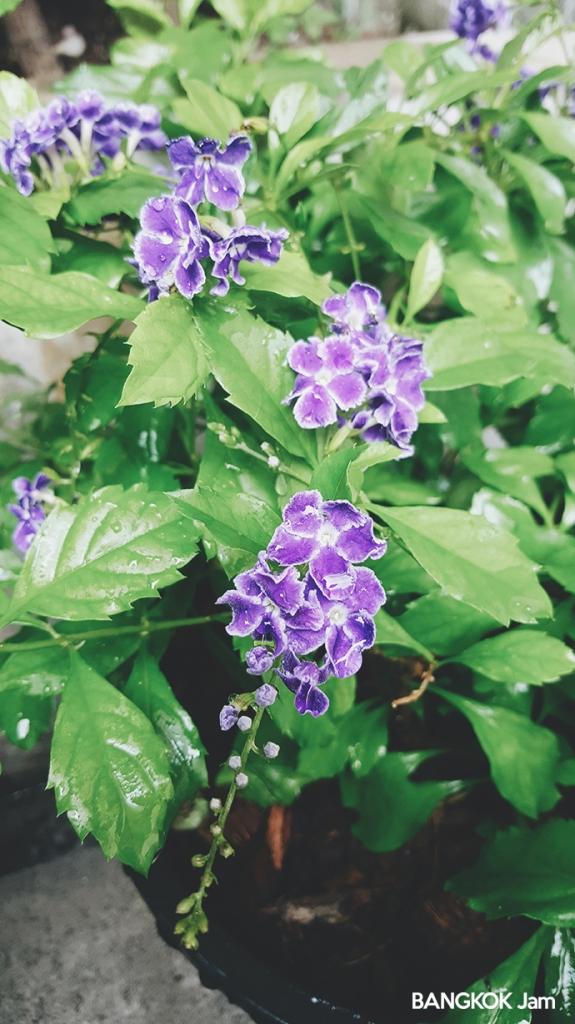 チャトゥチャック 植木市 JJ 水曜 木曜 Plants Flowers Market 2018 デュランタ・タカラヅカ เทียนหยด ティアンヨット)