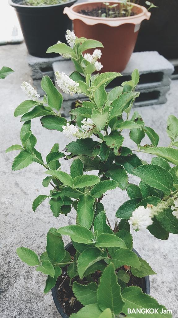 チャトゥチャック 植木市 JJ 水曜 木曜 Plants Flowers Market 2018 ブッドレア ラチャワディー ราชาวดี)