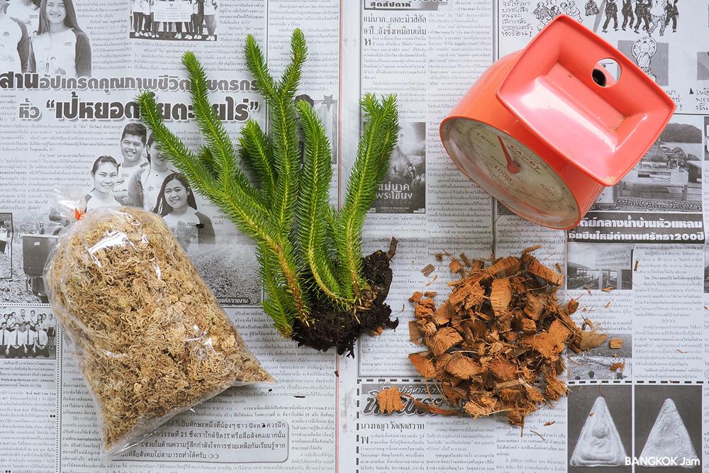 フペルジア タイ リコポディウム シダ 水苔 チャトゥチャック 植木市