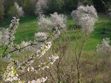 フランスの桜の写真1