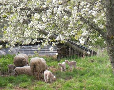 フランスの田舎だより羊の写真