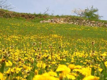 フランスの田舎だより(たんぽぽ畑)写真