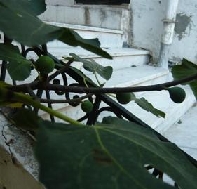 イチジクの実がなっている木